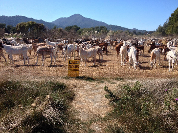 Goats on Corte Madera Marsh